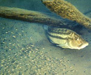 Serranochromis Robustus