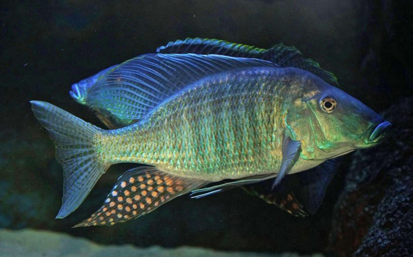 Taeniolethrinops Praeorbitalis
