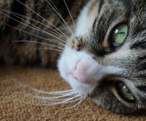 Kedilerin Sürekli Miyavlamalarının Sebepleri