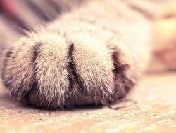 Kedilerde Pati Bakımı