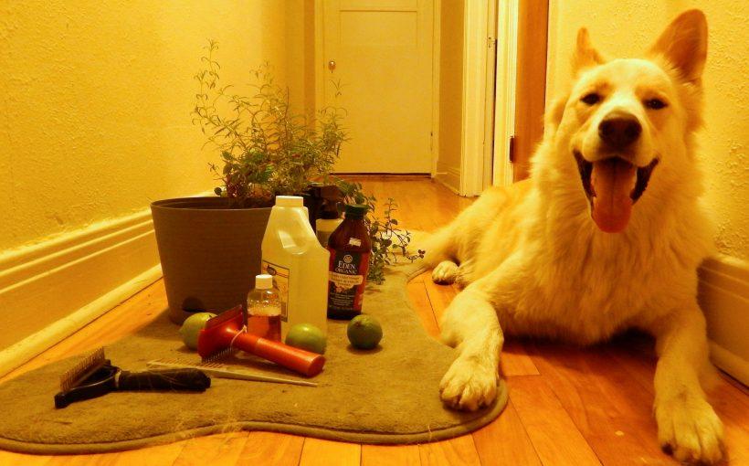 Köpeklerde Bit ve Pire Temizliği Nasıl Yapılır?