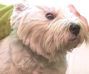 Köpeklerde Göz Temizliği Nasıl Yapılır?