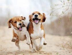 Köpeklerde Hiperaktiflik, Aşırı Hareketlilik