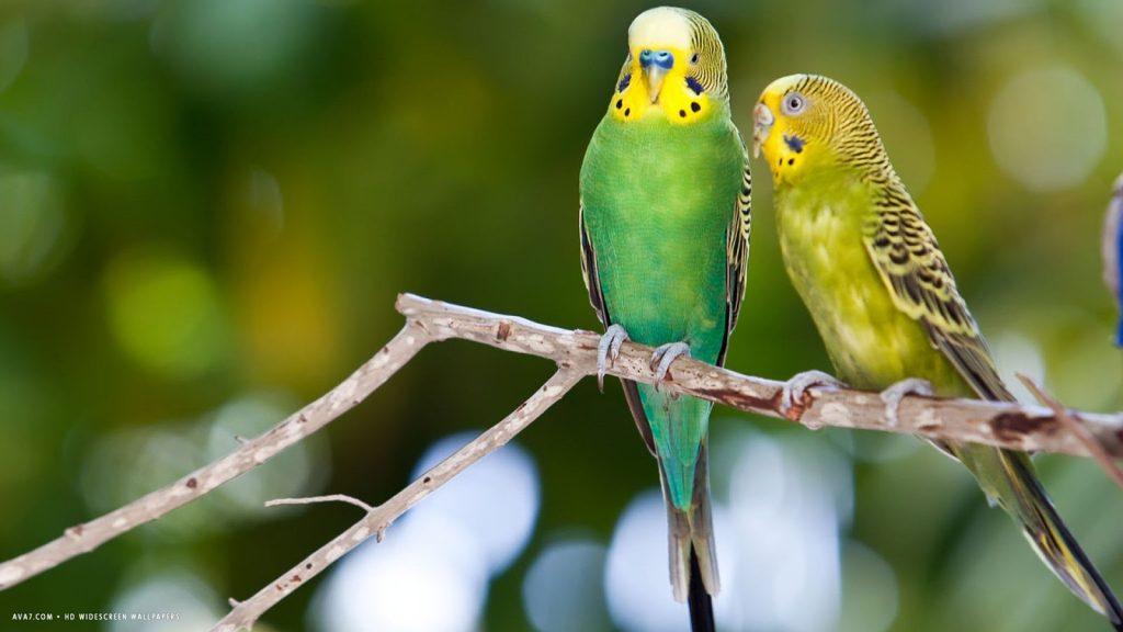 Muhabbet Kuşu Bakımı