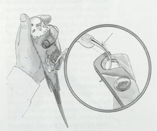 Muhabbet Kuşu Tırnak Kesme