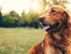 Köpeklerde Dış Parazit Türleri ve Tedavisi