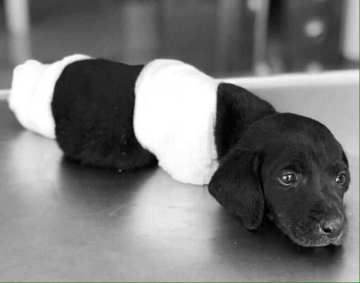 Sakarya'da Bacakları Kesilen Yavru Köpek Kurtarılamadı
