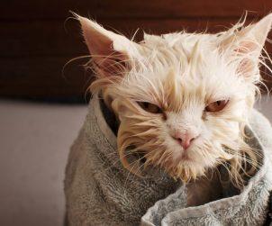 Kedilere Banyo Yaptırılmalı Mıdır?