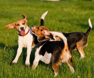 Köpekler Neden Kuyruk Sallar?