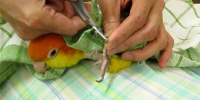 Papağan Tırnak Kesimi