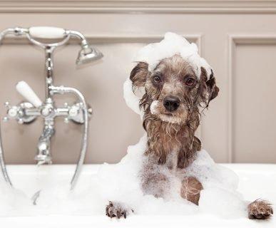 Köpekler Nasıl Yıkanır ve Banyo Yaptırılır?