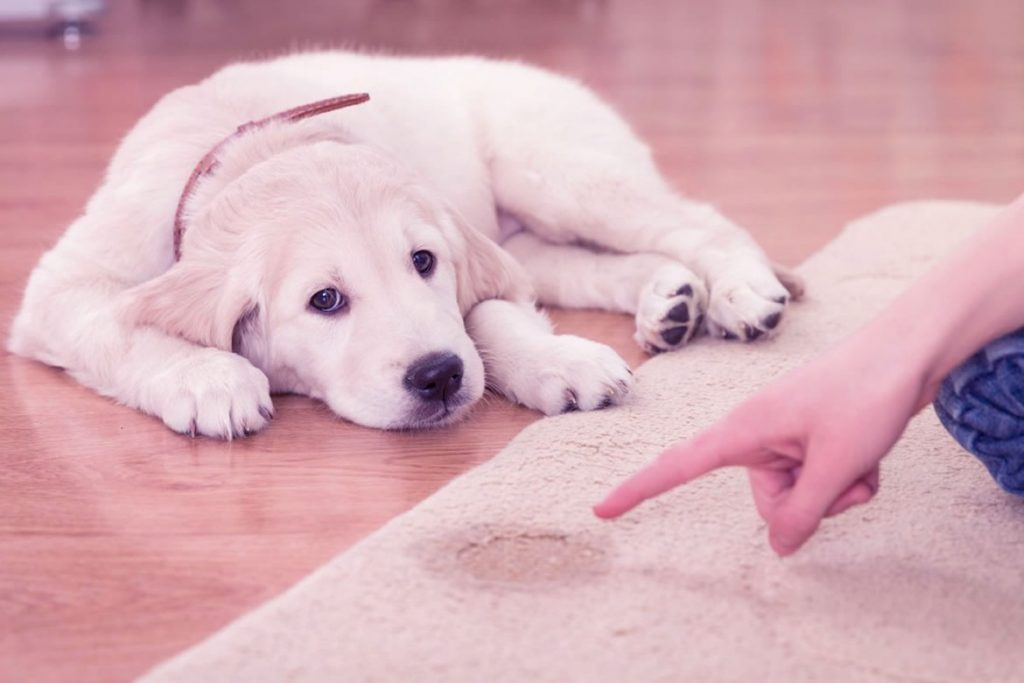 Köpeklere Tuvalet Eğitimi Nasıl Verilir?