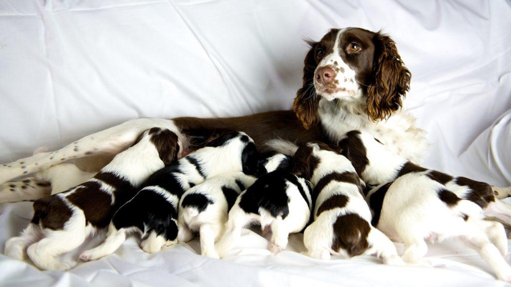 Hamile Köpek Bakımı ve Beslenmesi