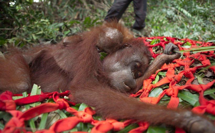 İnsanlar Palm Yağı İçin Orangutanları Acı İçinde Öldürüyor