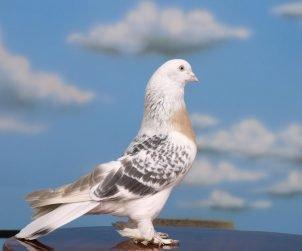 Türkiye'de Görülen Güvercin Türleri