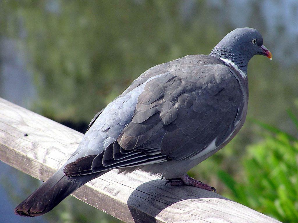 Güvercin Nasıl Uçurulur