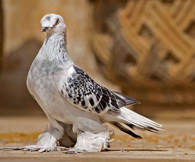 Güvercinler Yönlerini ve Yuvalarını Nasıl Bulur