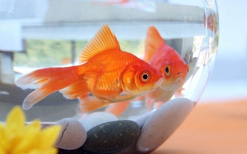 Japon Balığı Akvaryumu Nasıl Olmalı