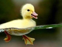 Yavru Ördek Cinsiyet Ayrımı