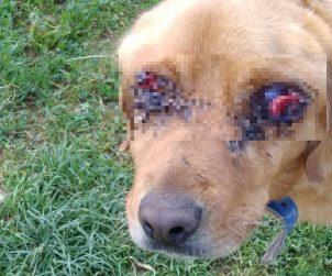 Tokat'ın Pazar İlçesinde 'Golden' Cinsi Bir Köpek İki Gözü Oyulmuş Halde Bulundu