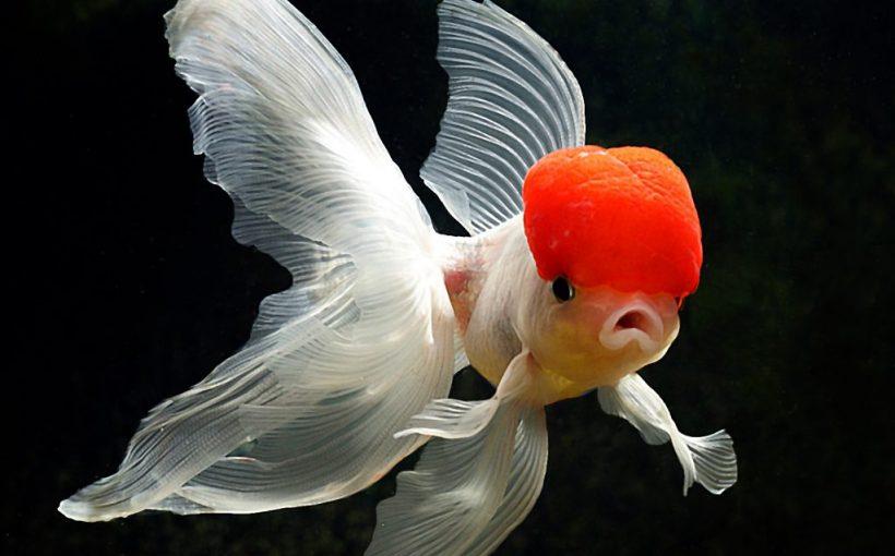 Balıklarda Ağız Fungusu