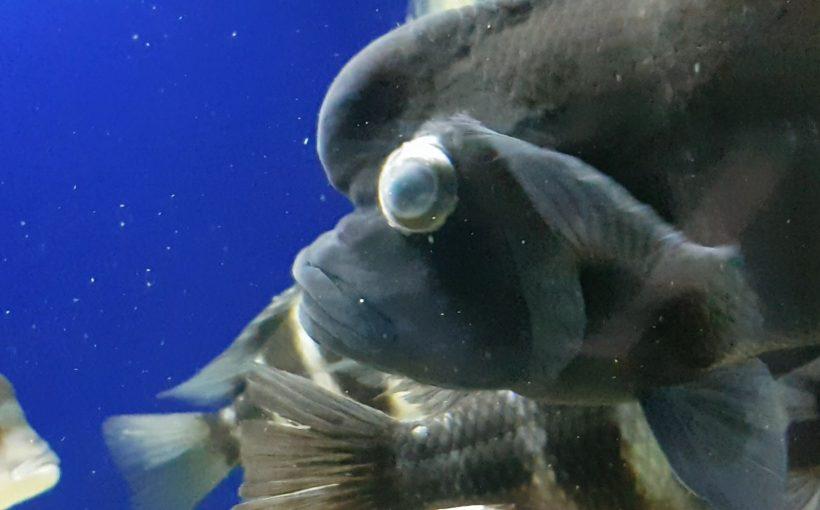 Balıklarda Göz Fırlaması