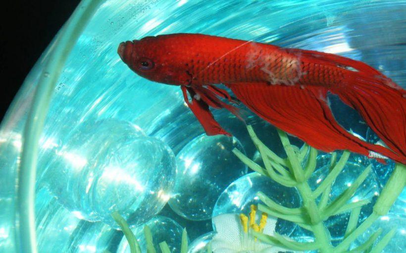 Balıklarda Kadife Hastalığı