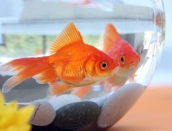 Balıklarda Mantar Hastalığı