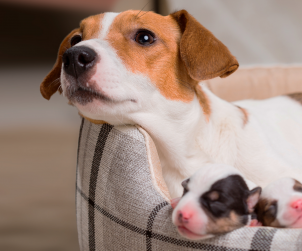 Hamile Köpekler için Vitaminler