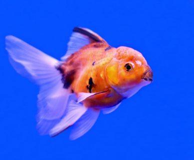 Balıklarda Kara Benek Hastalığı