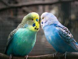 Muhabbet Kuşu ve Hakkında Bilmemiz Gerekenler