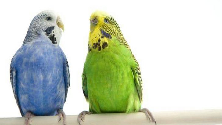 Muhabbet Kuşu için Tünek Önerileri
