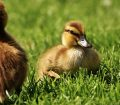 Ördek Bakımı ve Dikkat Etmeniz Gerekenler