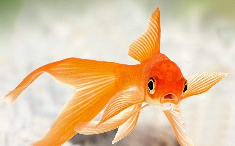 Japon Balığı Bakımında Yapılan Hatalar
