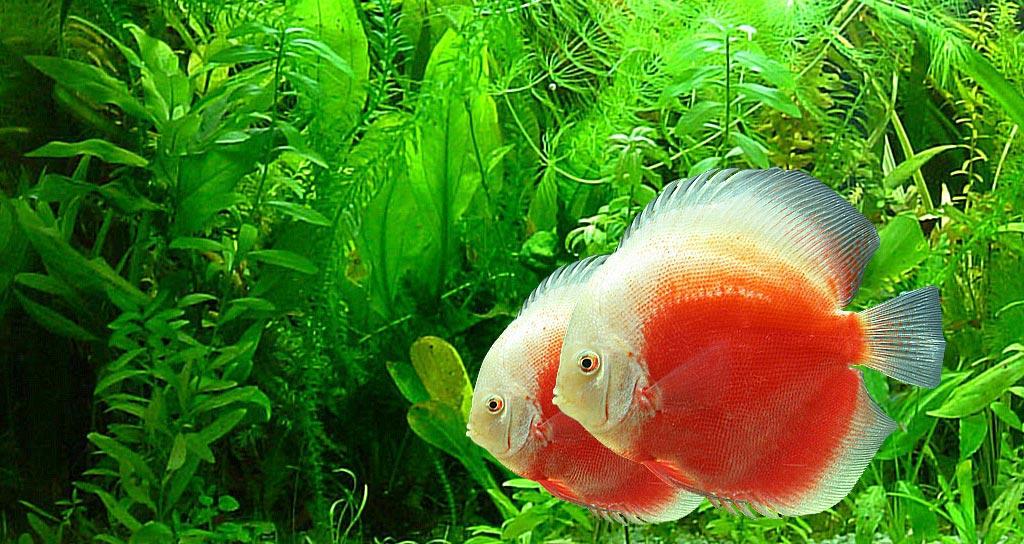 Discus Balığı (Symphysodon)