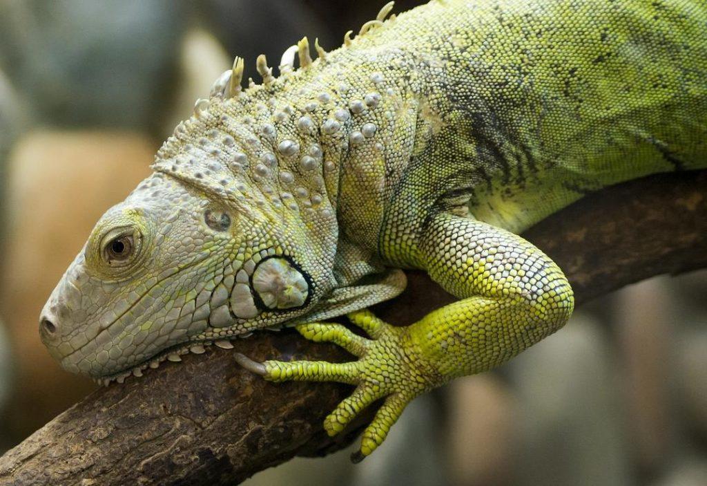 İguana Nerede Yaşar ve Cinsiyeti Nasıl Anlaşılır?