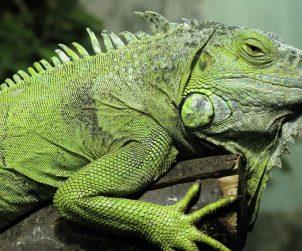 İguana Bakımı ve Dikkat Etmeniz Gerekenler