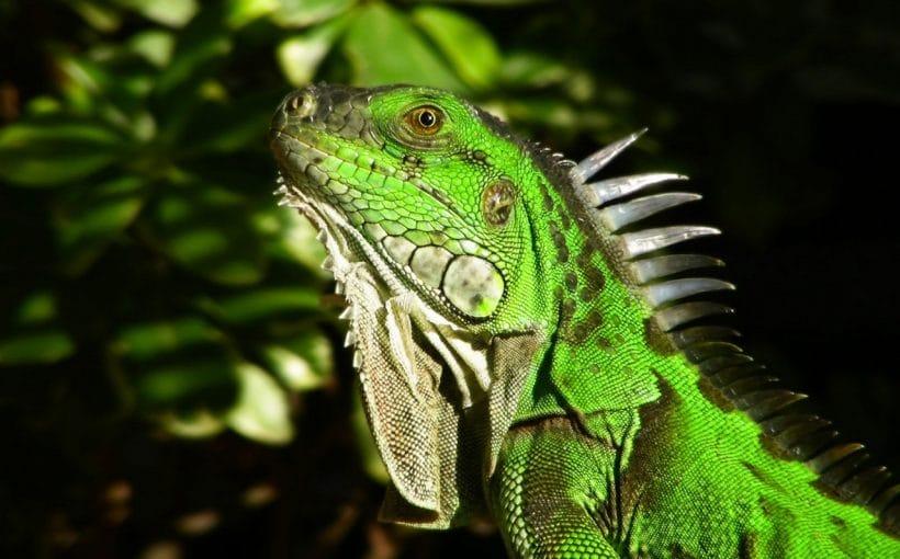 İguana Evcilleştirme
