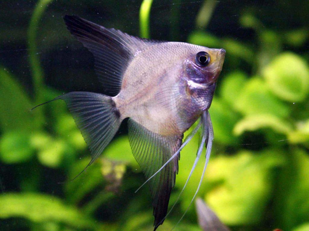 Melek Balığı (Pterophyllum)
