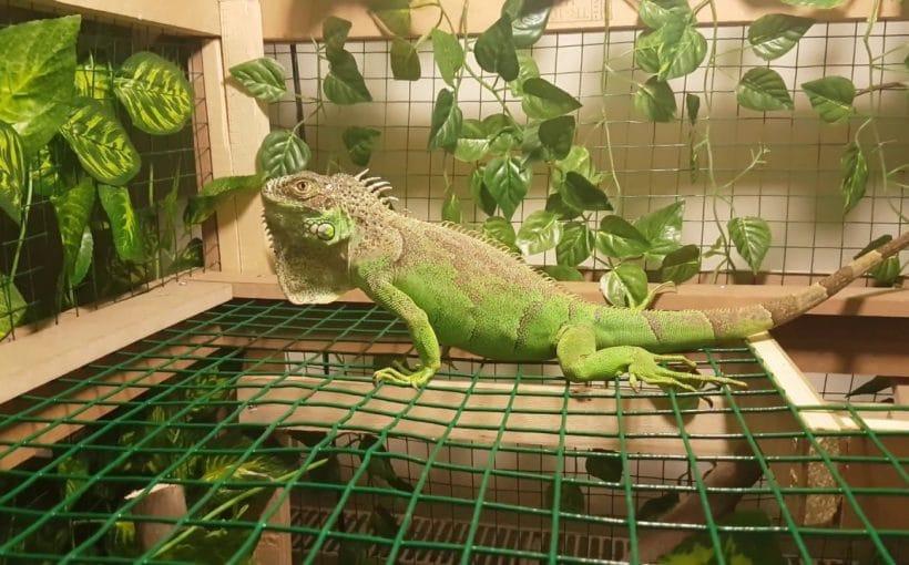 İguana İçin Teraryum Hazırlama