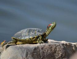 Su Kaplumbağası Teraryumu Kurulumu